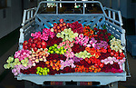 A truck bed of roses is ready for delivery at a rose farm in Latacunga, Ecuador.  Ecuador is one of the largest growers of roses in the world because of its proximity to the equator which brings year round spring like temperatures.