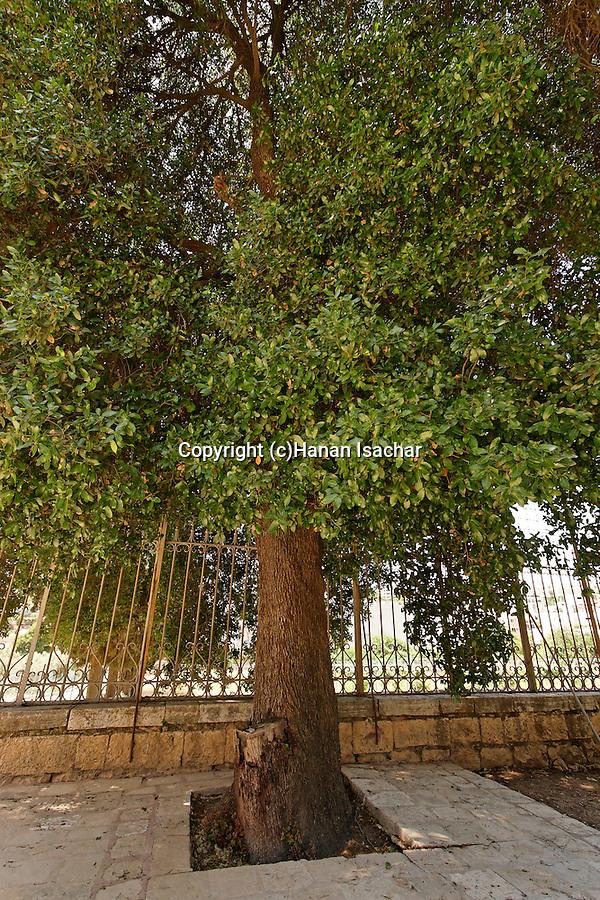 Judea, Kermes Oak at the Russian Orthodox Church in Hebron. .