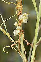 Yellow Dodder - Cuscuta campestris