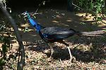 Yala National Park Sri Lanka<br /> Peafowl