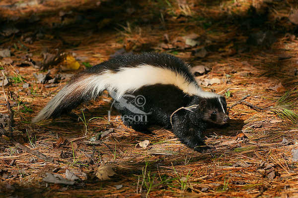 Striped Skunk (Mephitis mephitis) ranges through southern Canada and most of USA. Fall, Nova Scotia, Canada.