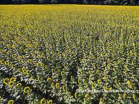 63801-11414 Sunflower field-aerial Jasper Co.  IL