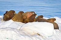 Atlantic walrus, Odobenus rosmarus rosmarus, adult, male, on ice floes, Moffen, Svalbard, Norway, Barents Sea, Atlantic Ocean