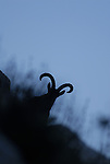 Silhouette of adult male Spanish Ibex  looking over  ridge down face of hill at dusk. Andalucia, Spain.