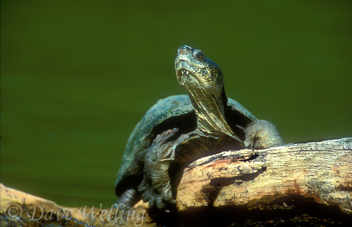 482900022 a wild adult yellow mud turtle kinosternon flavescens sits on a log with its neck stretched on a pond in the rio grande valley of south texas