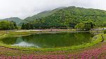 Field of moss phlox flowers at Fuji, Shiba-Sakura Festival, Mt. Fuji, Japan