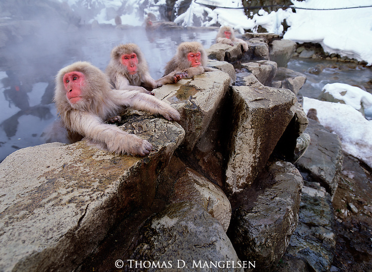 Japanese macaques or snow monkeys rest in a hot spring in Jigokudani National Park, Japan.