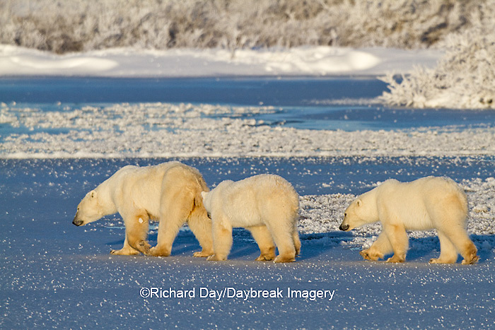 01874-12312 Polar bear (Ursus maritimus) mother and two cubs walking on frozen pond, Churchill Wildlife Management Area, Churchill, MB Canada