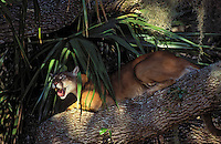 FLORIDA PANTHER in Spanish moss, oak and saw palmetto..Endangered Species. Florida..(Felis concolor coryi).