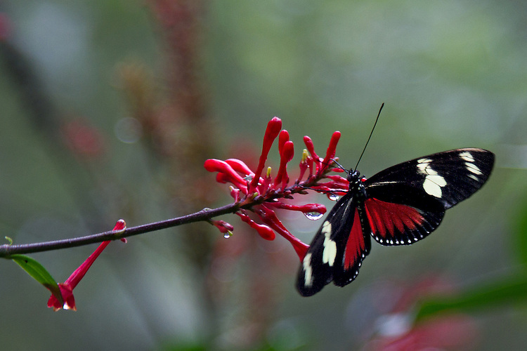 A Doris Longwing sips from a red flower with suspended rain drops agains a multi-colored blurred background.