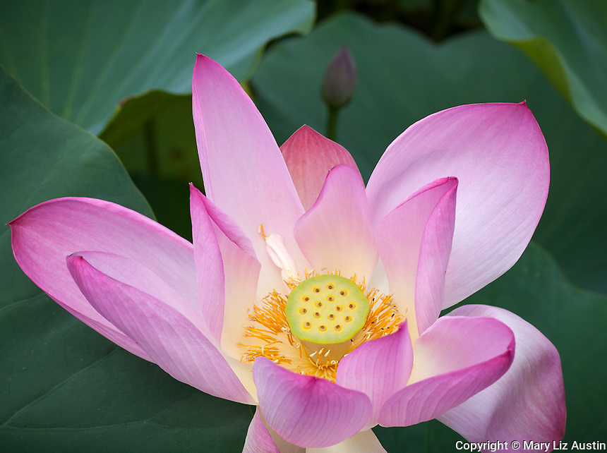 Washington, District of Columbia<br /> Lotus (Nelumbo nucifera) blossom in the lotus pond of the Kenilworth Park and Aquatic  Gardens