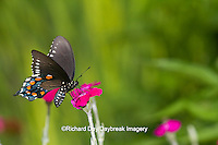03004-01311 Pipevine Swallowtail butterfly (Battus philenor) on Rose Campion (Lychnis coronaria) Marion Co., IL