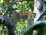 Asian Leopard, Panthera pardus, walking along branch in tree, Corbett National Park, Uttarakhand, Northern India, .India....