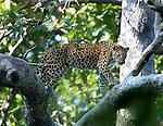 Asian Leopard, Panthera pardus, walking along branch in tree, Corbett National Park, Uttarakhand, Northern India, .India....