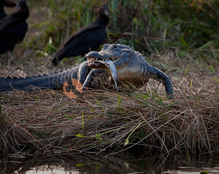 Alligator on the bank of a river in Florida with a fish in his mouth and buzzards in the backgrouns