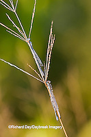 06105-00110 Three Familiar Bluets (Enallagma civile) damselflies in early morning dew, Marion Co.  IL