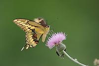 Giant Swallowtail (Papilio cresphontes), adult feeding on Texas thistle (Cirsium texanum), Fennessey Ranch, Refugio, Coastal Bend, Texas Coast, USA