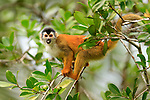 Black-crowned Central American Squirrel Monkey (Saimiri oerstedii oerstedii), an endangered species in Costa Rica and Panama