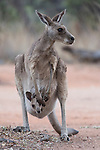 Undara Volcanic National Park, Queensland, Australia; a female Eastern Grey Kangaroo (Macorpus giganteus) with a joey in it's pouch forages for food in the late afternoon