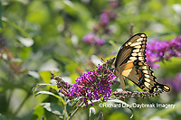 03017-01505 Giant Swallowtail (Papilio cresphontes) on Butterfly Bush (Buddleja davidii) Marion Co. IL