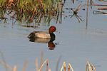 Ducks, redhead, aythya americana,