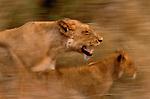 Lion, Sabi Sands Game Reserve, South Africa