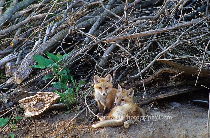 Fox Kits Outside Den