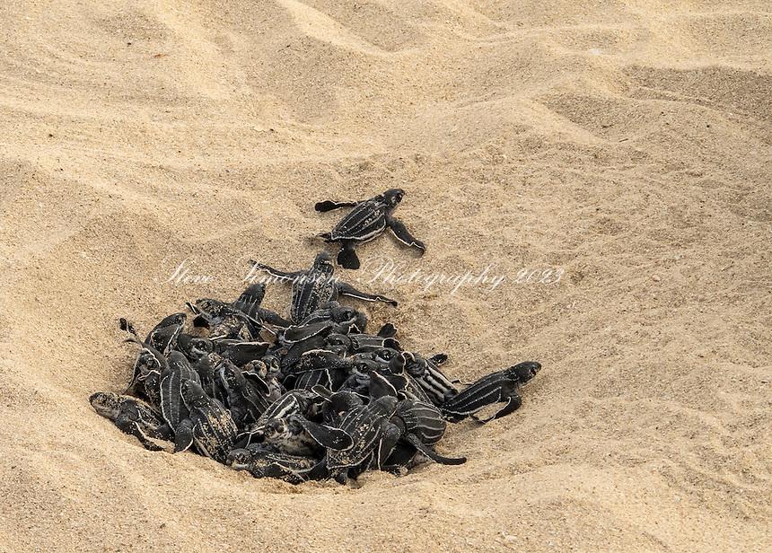 Leatherback turtle hatchlings<br /> Sandy Point Wildlife Refuge<br /> St. Croix<br /> US Virgin Islands