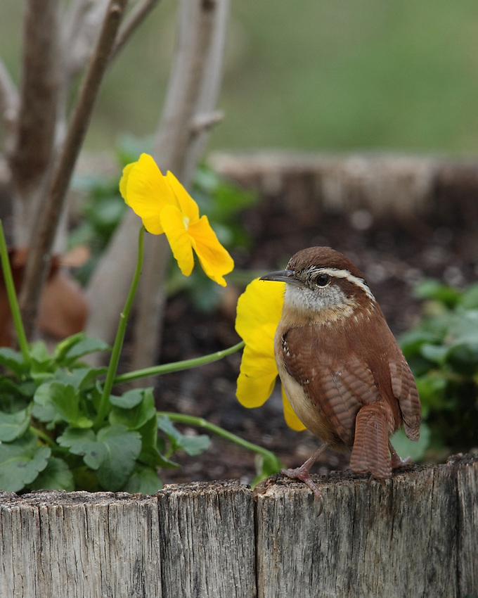 Carolina Wren and yellow pansies in an old whiskey barrel planter..