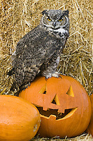 Great-horned Owl sitting on a JackOlantern