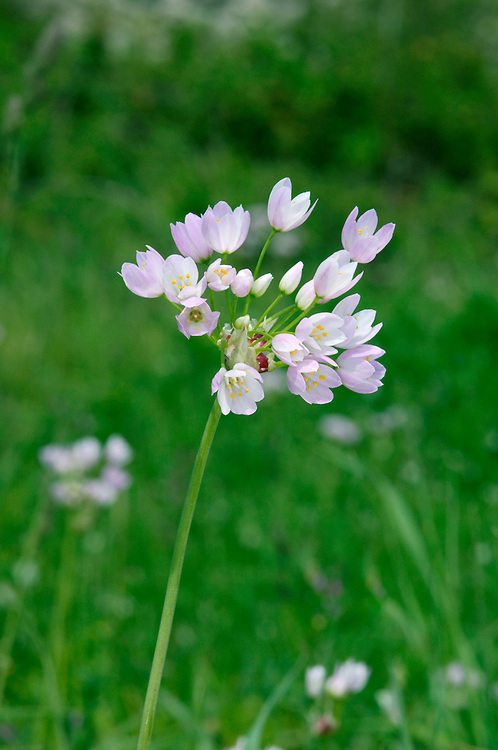 ROSY GARLIC Allium roseum. Similar to Chives A. schoenoprasum, but is taller with stalked, pink flowers in heads 4-5cm across (May-June). Naturalised locally in the south.