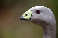 Cape Barren Goose (Cereopsis novaehollandiae) in Flinders Chase National Park on Kangaroo Island, South Australia, Australia.