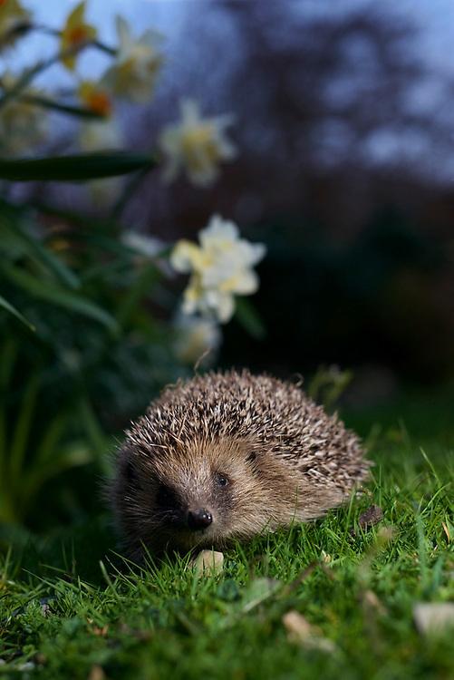 European Hedgehog exploring a garden in North Wales at dusk.