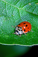 Zehnpunkt-Marienkäfer, Zehnpunkt, 10-Punkt, 10-Punkt-Marienkäfer, Marienkäfer, Adalia decempunctata, ten-spotted ladybird, ten-spotted lady beetle