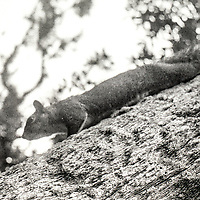 Squirrel in a tree, Photo taken with 1952 vintage Kodak Signet 35, 35mm film camera on Kodak Tri-X black and white film, Holly Hill, Fl, July 2017.  (photo by Brian Cleary/bcpix.com)