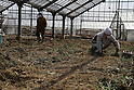 Oba Hiroyuki (29), a volunteer, drove from his home in Kanagawa Prefecture to the Sugai family's carnation farm that he had seen featured in a newspaper article.  He helped pull debris from a heavily damaged greenhouse.