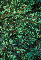 Juniper Green Carpet, juniperus communis evergreen groundcover