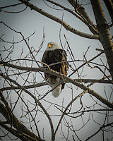 Bald Eagle perched in a tree waiting for dinner.