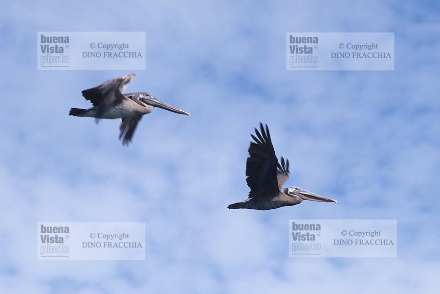- pelicans in flight....- pellicani in volo