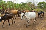 A young Nicaraguan man herds cattle down a dirt road on la Isla de Ometepe (Ometepe Island), Nicaragua