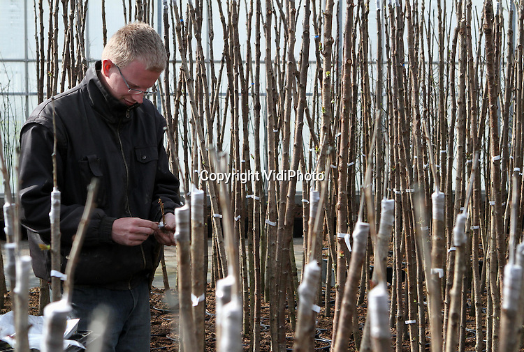 Foto: VidiPhoto..DODEWAARD - Personeel van Batouwe Boomkwekerijen BV in Dodewaard ent dinsdag diverse soorten japanse kers met een speciale driehoeksent op een onderstam. Er moet hard gewerkt worden nu de lente is aangebroken en consumenten hun tuin op orde brengen. Batouwe levert stekjes en geënte onderstammen aan boomkwekers in binnen- en buitenland. Hoewel de vooruitzichten voor veel boomkwekers dit jaar niet best zijn en er grote verliezen worden gedraaid, draait de Dodewaardse leverancier met zijn geënte producten juist meer omzet dat ooit.