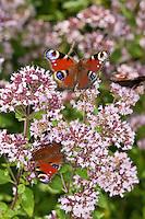 Tagpfauenauge, Blütenbesuch, Nektarsuche auf Wildem Dost, Oreganum, Origanum, Tag-Pfauenauge, Aglais io, Inachis io, Nymphalis io, peacock moth, peacock
