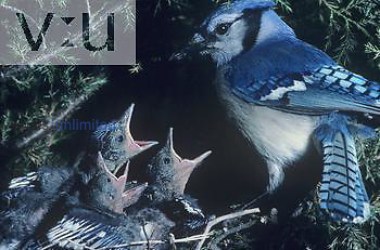 Blue Jay at its nest with three hungry chicks. Eastern USA.