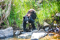 A Black Bear in Colorado pauses by a river before taking a drink in late summer.