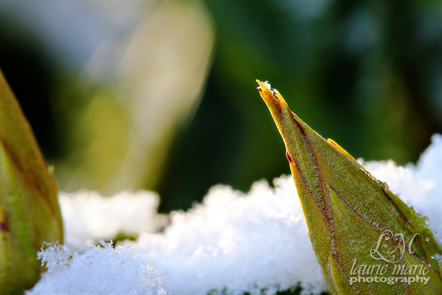 Rhododendron tipped with snowflake