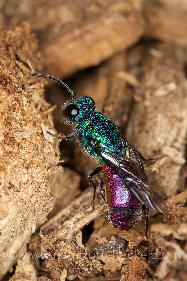 Gemeine Goldwespe, Feuer-Goldwespe, Feuergoldwespe, Gold-Wespe, Chrysis ignita, common gold wasp, ruby-tail, ruby-tailed wasp