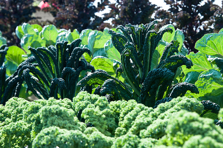 Tuecan Kale 'Cavolo de Nero', with 'Redbor' and Brussels sprouts in the background.