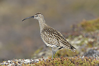 Whimbrel - Numenius phaeopus