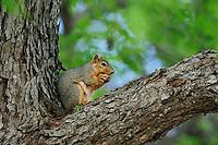 Eastern Fox Squirrel (Sciurus niger), adult eating pecan in pecan tree, Dinero, Lake Corpus Christi, South Texas, USA