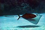 A Horse-eye Jack (Caranx latus) shadows a Southern Stingray (Dasyatis americana) by swing close by. Shadowing behavior is a mutually beneficial hunting technique.